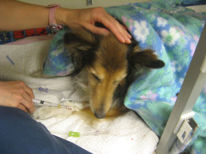 The anesthesia specialist will continue to watch over your pet until he or she is stable and recovering smoothly from anesthesia.